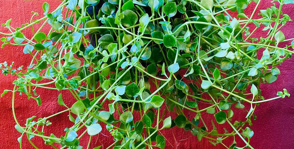 Crassula Spathulata in Hanging Basket