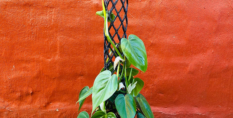 Heart Leaf Philodendron on Pole