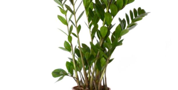 Zanzibar Gem / Zamioculcas Zamifolia
