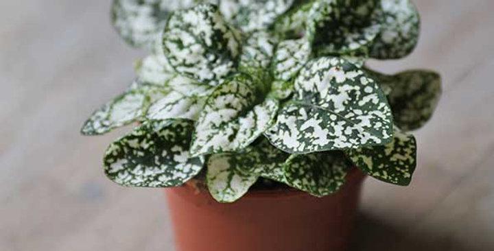 Polka Dot Plant/Hypoestes White
