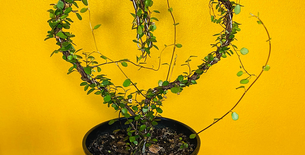 Creeping Wire Muehlenbeckia