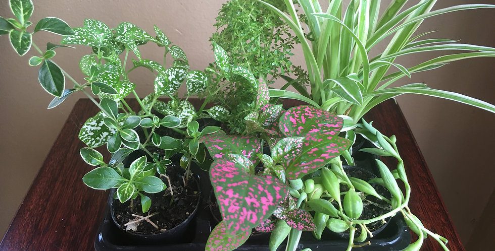 Tom Thumb Tray of 6 different plants