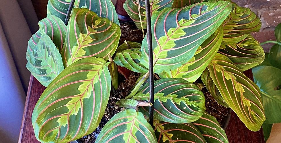 Maranta Leuconeura / Prayer Plant