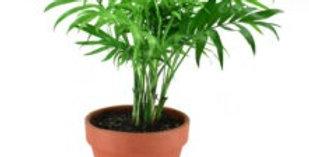 Chamaedorea Love Palm
