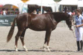 007 Alias, valorisation poney, Haras du Phoenix