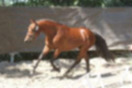 Dandy Der Lenn, Valorisation poney, Haras Du Phoenix