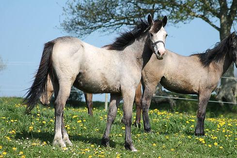 Elship Milin Riant, valorisation poney, Haras du Phoenix