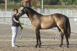 D'Angelo Der Lenn, fils d'Usandro Tilia Derlenn, valorisation poney 2015, Haras Du Phoenix