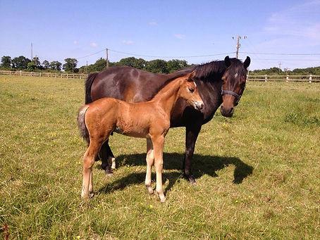 Dream On Der Lenn, poulain pfs, poney de sport, Elevage Alias, Haras du Phoenix, propriété de l'élevage des Mioko