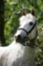 Rêve du Haut Pont, poulinière pfs, poney de sport, gagnante CSIP, Elevage Alias, Haras du Phoenix