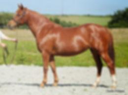 Quackel Des Bourdons, poulinère, poney de sport, Elevage Alias, Haras du Phoenix
