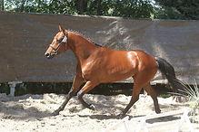 Dandy Der Lenn, étalon Pfs approuvé, valorisation poney de sport 2015, Haras du Phoenix