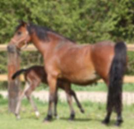 Romantiliana Linaro, poulinière Pfs, poney de sport, Elevage Alias, Haras du Phoenix