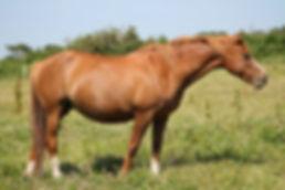 Make It Easy La Claie, nièce de Teake It Easy SL, poulinière, poney de sport, Elevage Alias, Haras du Phoenix