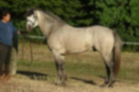 Calypso Du Haut Pont, valorisation poney 2016, Haras du Phoenix