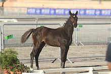 Fortune Teller Alias, Vice Championne de France Pfs foal, poney de sport, Haras du Phoenix