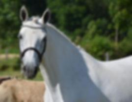 Un Ange passe Au Péna, poulinière connemara, elevage poney de sport, Elevage Alias, Haras du Phoenix