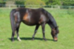 Queen Durello D'Été, poulinière Pfs, poney de sport, Elevage Alias, Haras du Phoenix