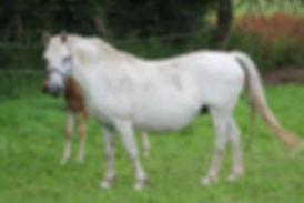 Hokoume de Lerieu, poulinière welsh, poney de sport, Elevage Alias, Haras du Phoenix
