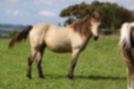 Ever Du Haut Pont, valorisation poney, Haras du Phoenix