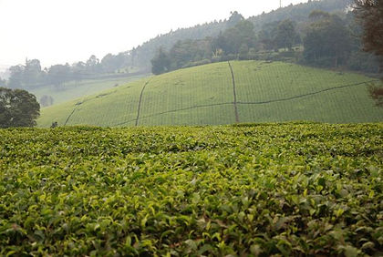 Tea plantations are a large source of income for Kenya