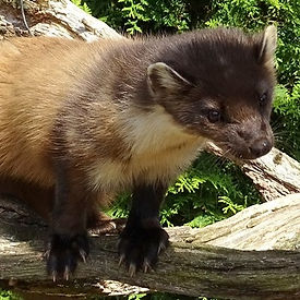 alpine animals