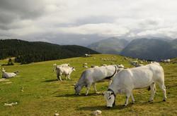 mountain farming - livestock