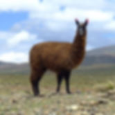 list of animals that can live in the mountains