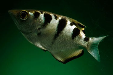 fish that live in brackish water