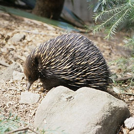 all about animals in australia