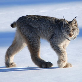 animals that live in the Rockies