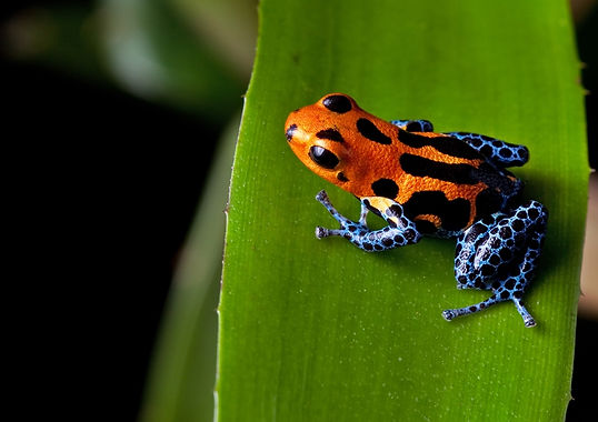 amazon rainforest animals | animals in the tropical rainforest | rainforest frogs