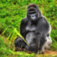 gorilla picture | tropical rainforest animals
