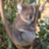 australia animals for kids