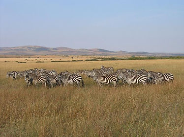 A herd of zebra wandering the savannahs of Kenya