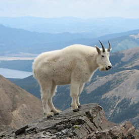 rocky mountain animals