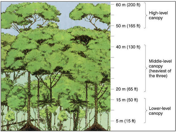 rainforest canopy diagram