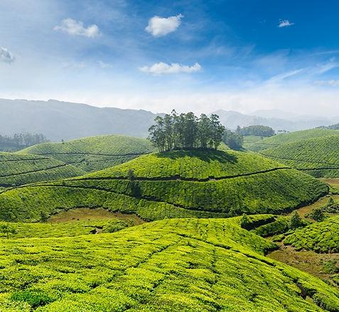 tea growing in india