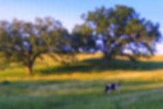 cows graze.JPG