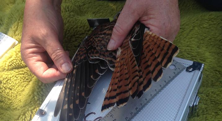 wing measuring.jpg