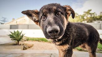 shepard puppy_edited.jpg