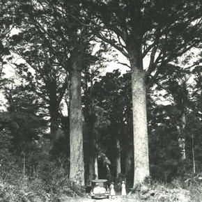 Twin kauri known as 'Darby and Joan', 1929