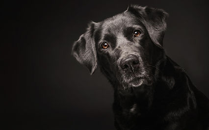 shiny-black-dog-desktop-background.jpg