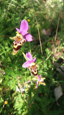 Cretan orchid