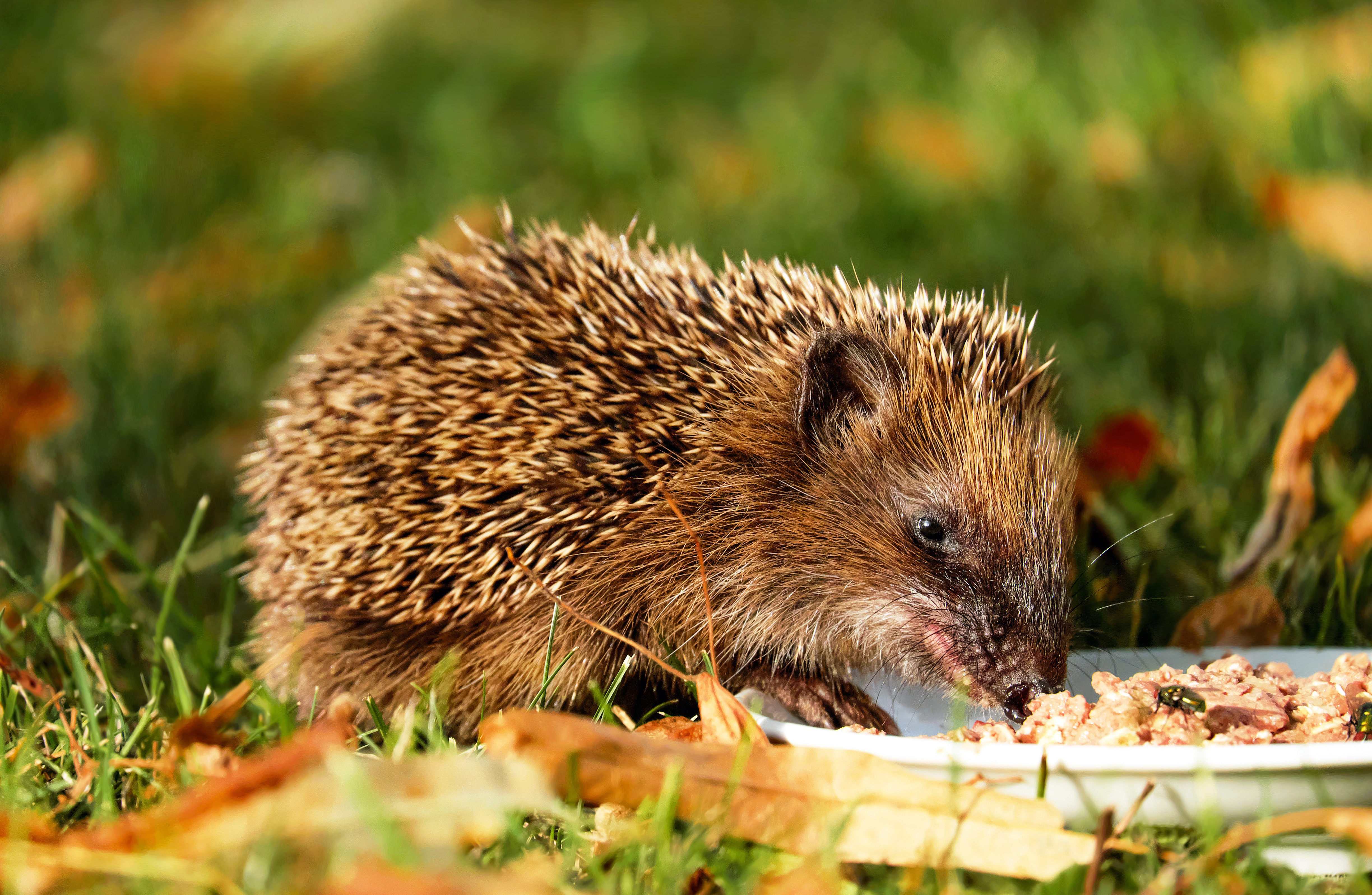 hedgehog-1584351