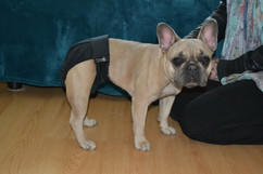 COUCHE-CULOTTE-Yamacouche-Bulldog-femelle-sans-queue-incontinence