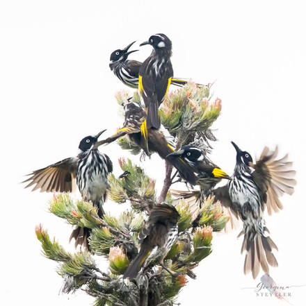 New Holland Honeyeaters behaving badly