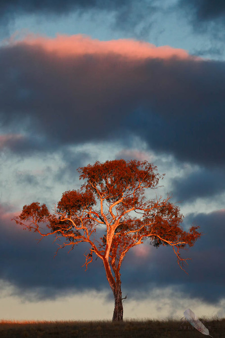 Eucalypt Sunset