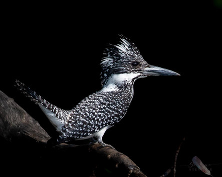 Great Crested Kingfisher