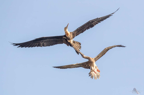Red-footed Booby with Frigatebird.jpg